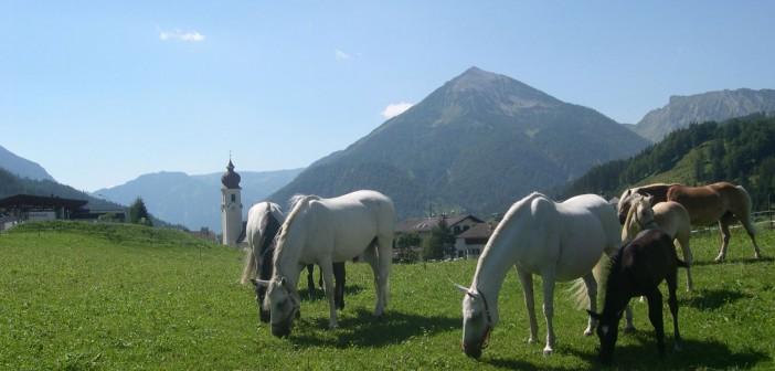 Lippizaner des Reiter´s Posthotel  Reiter's Posthotel Achenkirch/ Tirol/ A