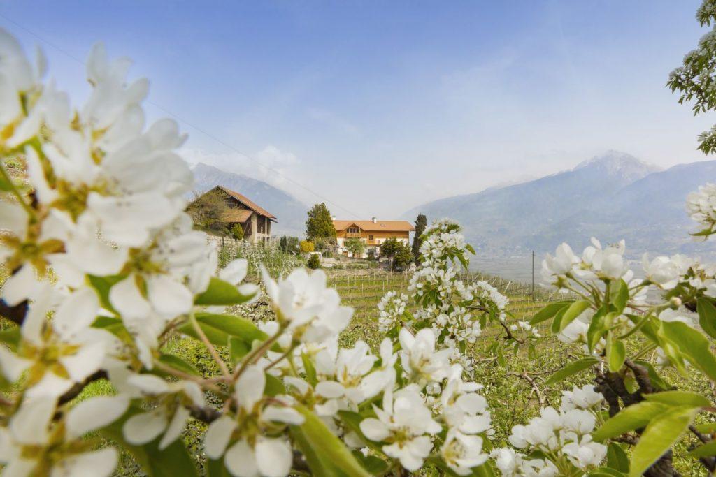 """Urlaub inmitten der Südtiroler Apfelblüte – hier auf einem der Obstbauernhöfe der Qualitätsmarke """"Roter Hahn"""". Bildnachweis: """"Roter Hahn""""/Frieder Blickle"""